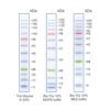 Blue Wide Range Protein Ladder (10-245kDa)