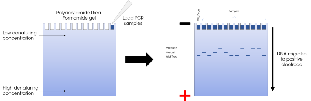 Figure 2: Overview of DGGE theory. The separation of DNA based on sequence is caused by the different in denaturing agent concentration at the top and bottom of the gel, which changes the Tm of the DNA fragment.