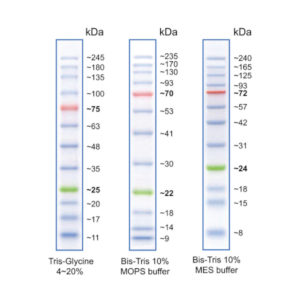 Vertical Protein Electrophoresis